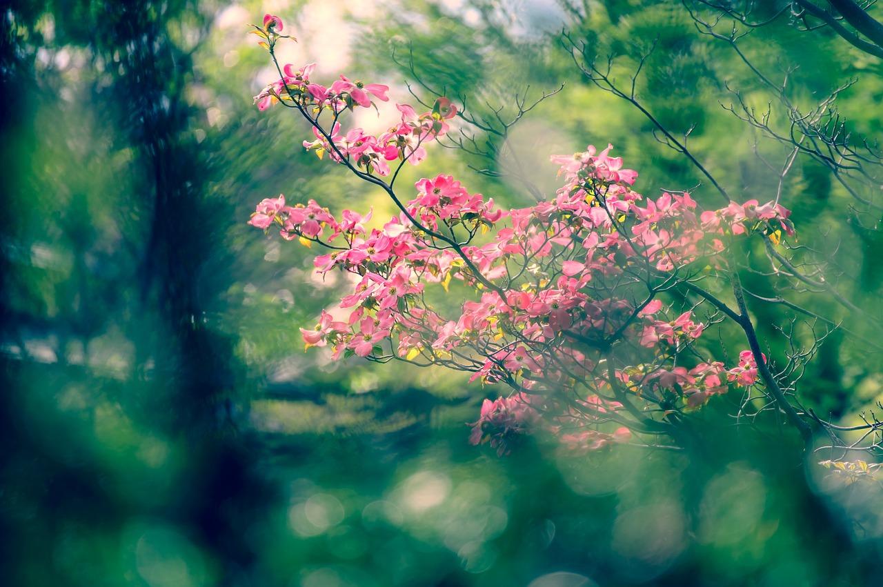 さくら 春